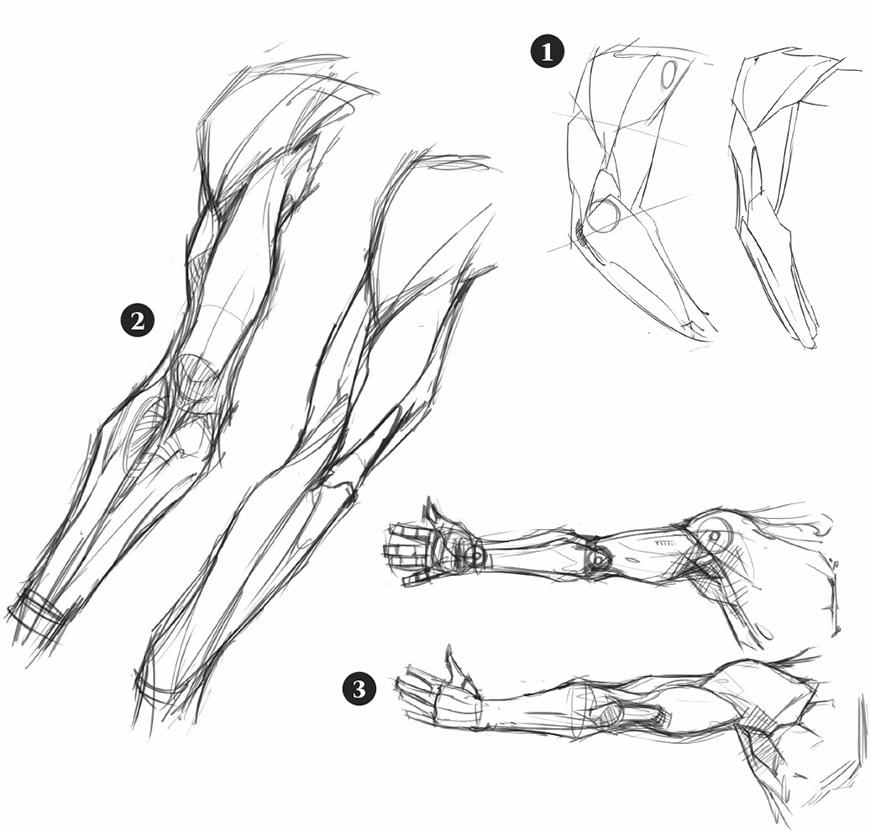 Muscoli del braccio parole chiave - Finestra che si apre sul lato superiore ...