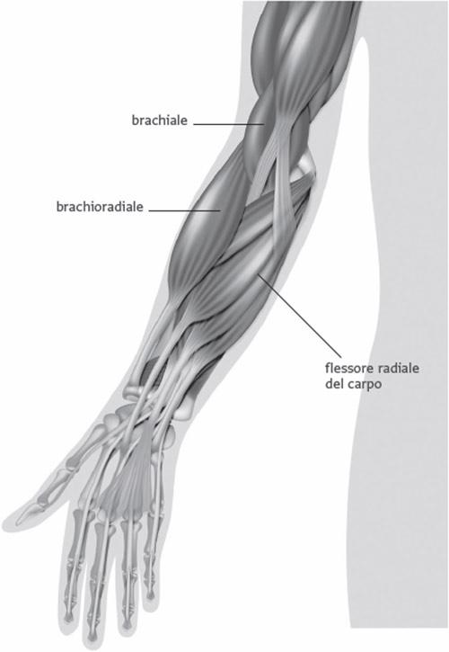 Muscoli Del Braccio Parole Chiave