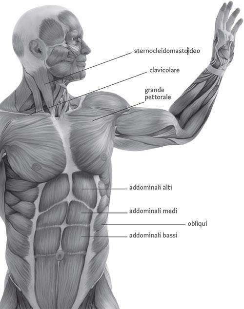 Muscoli Del Tronco Parole Chiave